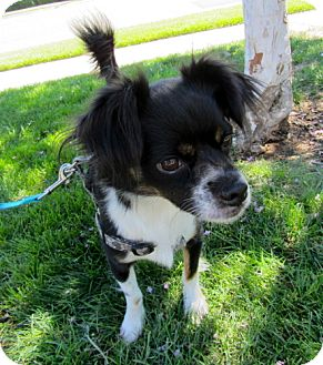 Cavalier King Charles Spaniel/Spaniel (Unknown Type) Mix Dog for adoption in Fresno, California - Markey