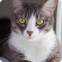 Adopt A Pet :: Misty - Merrifield, VA