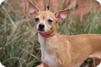 Yukon, OK - Chihuahua/Italian Greyhound Mix. Meet Niblet a ...