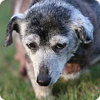 Adopt A Pet :: Shirely Temple - Decatur, GA