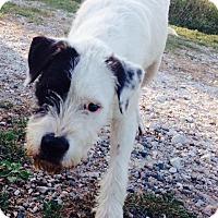 Adopt A Pet :: Polo - McKinney, TX