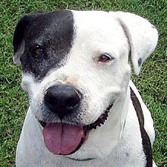 Cattle Dog/American Bulldog Mix Dog for adoption in Phoenix, Arizona - Stanley