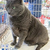 Adopt A Pet :: Cello - Merrifield, VA