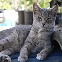 American Shorthair Kitten for adoption in Morriston, Florida - gray kitty