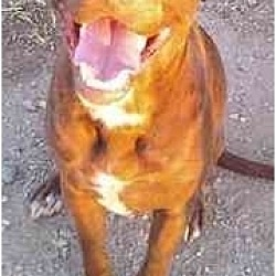 Photo 2 - Labrador Retriever/American Pit Bull Terrier Mix Dog for adoption in Gilbert, Arizona - CLARENCE
