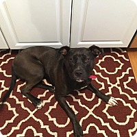 Adopt A Pet :: Sippi Cups AKA Luna - Phoenxville, PA