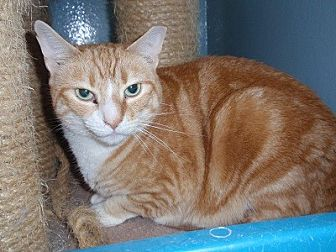 Domestic Shorthair Cat for adoption in Ashland, Massachusetts - Gretel