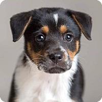 Adopt A Pet :: Razzle Dazzle Rose - Austin, TX