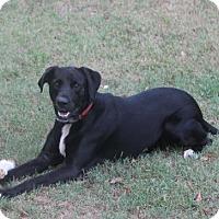 Retriever (Unknown Type)/Labrador Retriever Mix Dog for adoption in Monroe, Georgia - Chip