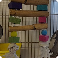 Cockatiel for adoption in Grandview, Missouri - Sylvester and Ethel