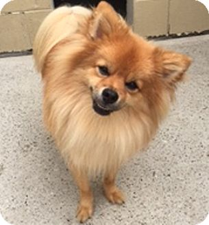 Pomeranian Dog for adoption in Oswego, Illinois - Sherlock and Holmes (Bonded)