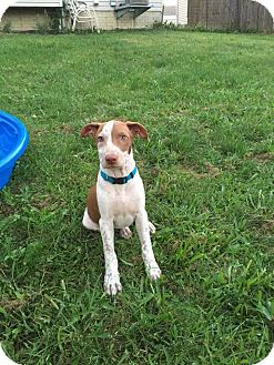 Labrador Retriever/Hound (Unknown Type) Mix Puppy for adoption in Dayton, Ohio - Teller