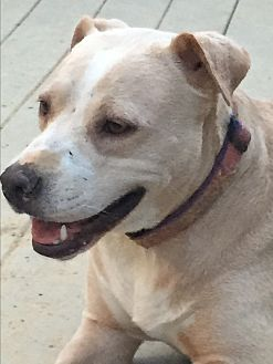 Labrador Retriever Mix Dog for adoption in Colmar, Pennsylvania - Sally