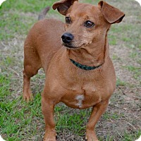 Dachshund Dog for adoption in Midland, Texas - Lincoln