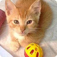 Adopt A Pet :: Nikola - River Edge, NJ