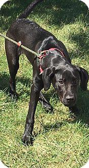 Great Dane Puppy for adoption in Zanesville, Ohio - Jace
