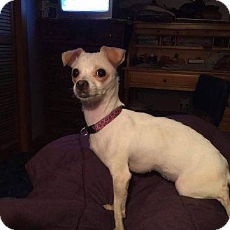 Chihuahua Mix Puppy for adoption in Bernardston, Massachusetts - Nivea