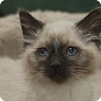 Siamese Kitten for adoption in Great Falls, Montana - Silas