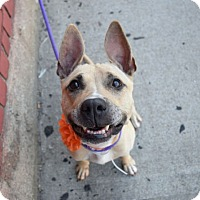 Adopt A Pet :: Pepper - Broadway, NJ