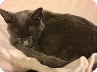 Russian Blue Cat for adoption in Victor, New York - Bear