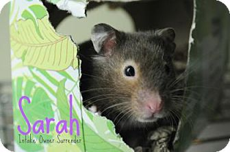 Hamster for adoption in Hamilton, Ontario - Sarah