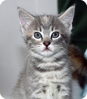 Domestic Shorthair Kitten for adoption in San Jose, California - Bubbles