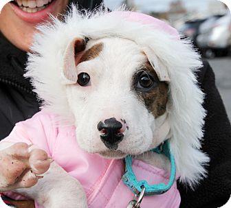 Labrador Retriever Mix Puppy for adoption in Harrison, New York - Watson