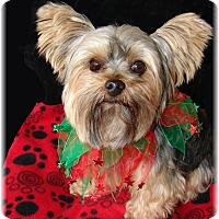 Yorkie, Yorkshire Terrier Dog for adoption in Palm City, Florida - Mayson