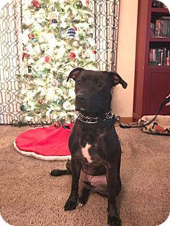 Pit Bull Terrier/Labrador Retriever Mix Dog for adoption in Huntington, Indiana - Jasmine