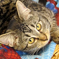 Domestic Shorthair Kitten for adoption in Grinnell, Iowa - McNabb