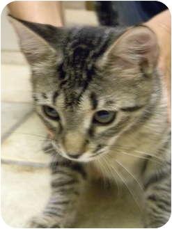 Domestic Shorthair Kitten for adoption in Bonita Springs, Florida - Mika
