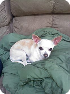 Chihuahua Dog for adoption in Richmond, Virginia - Max