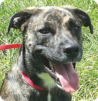 Dutch Shepherd/Boxer Mix Dog for adoption in Orlando, Florida - JR