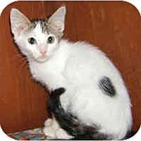 Adopt A Pet :: Two Spot - Dallas, TX