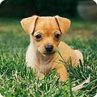 Adopt A Pet :: Finn - La Habra Heights, CA