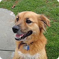 Adopt A Pet :: Meggie - Bellflower, CA