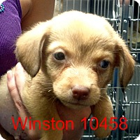 Adopt A Pet :: Winston - baltimore, MD