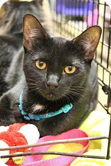 Domestic Shorthair Kitten for adoption in McDonough, Georgia - Buffy