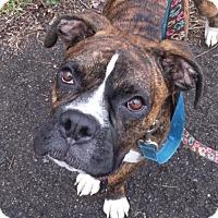 Adopt A Pet :: Samson - Brentwood, TN