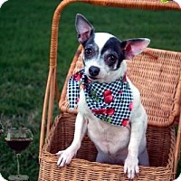 Adopt A Pet :: Bandi - Dallas, TX