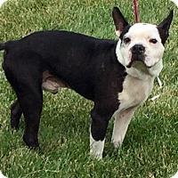 Adopt A Pet :: I'M ADOPTED Georgie Stopper - Oswego, IL