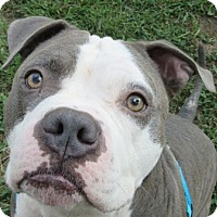 Adopt A Pet :: Diesel - Port Jervis, NY