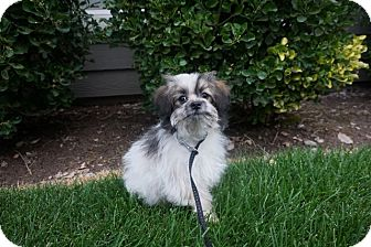 Pomeranian/Poodle (Toy or Tea Cup) Mix Puppy for adoption in Sandy, Utah - Teddy Bear