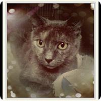 Domestic Shorthair Cat for adoption in Trevose, Pennsylvania - Lorissa