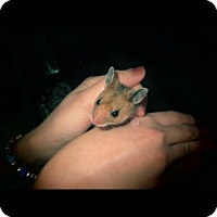 Adopt A Pet :: Charmander - Bensalem, PA