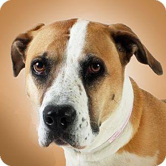 Boxer Mix Dog for adoption in Prescott, Arizona - Hallie