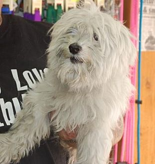 Maltese Mix Dog for adoption in Brooklyn, New York - Patrick