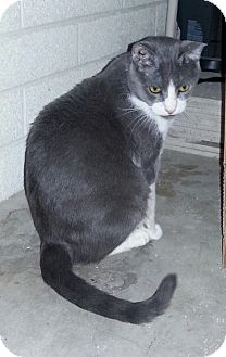 Domestic Shorthair Cat for adoption in Phoenix, Arizona - WEBSTER