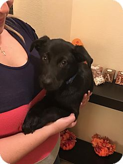 Labrador Retriever Mix Puppy for adoption in Saddle Brook, New Jersey - Romeo