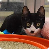 Adopt A Pet :: Pear - Houston, TX